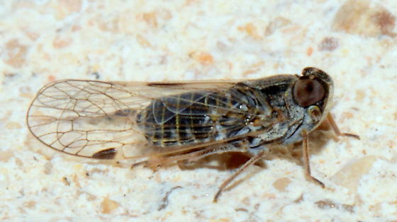 Cixiid Planthopper?