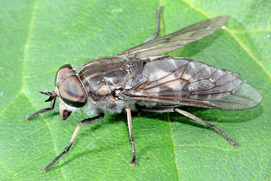 Horse Fly - Tabanus marginalis - female