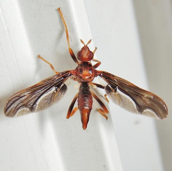 interesting fly - Pyrgota undata