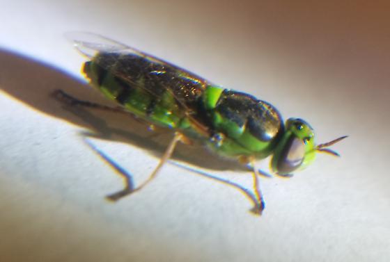 Green Soldierfly - Odontomyia cincta