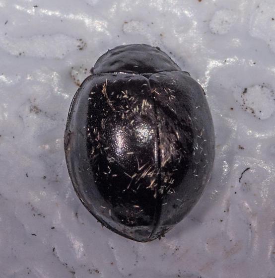 Black Lady Beetle?
