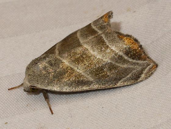 moth - Bagisara gulnare