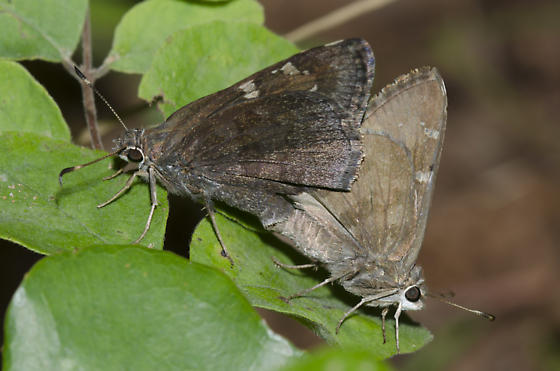 Mating Outis Skippers - Cogia outis - male - female