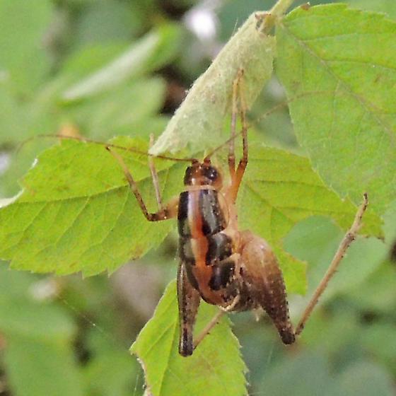 camel cricket - female