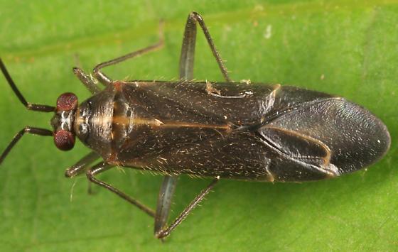 Plant Bug - Orthotylus necopinus