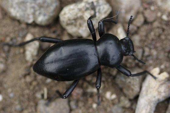 Darkling beetle - Coelocnemis magna