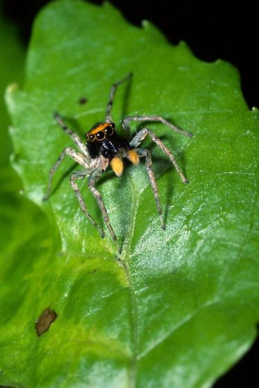 Jumping Spider - Maevia a - male