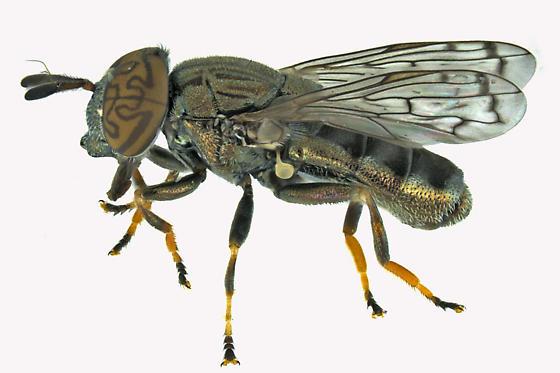 Syrphid Fly - Orthonevra nitida