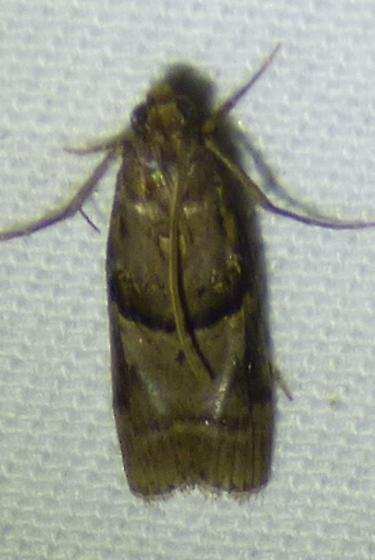 Dioryctria clarioralis - Blister Coneworm - Dioryctria clarioralis