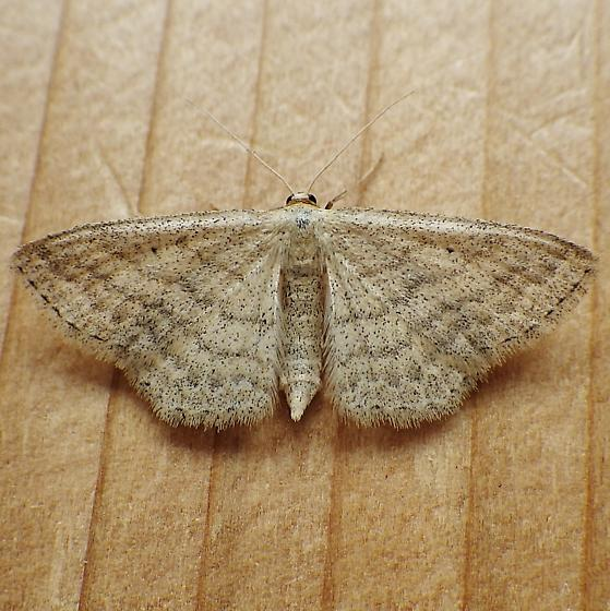 Geometridae: Scopula inductata - Scopula inductata