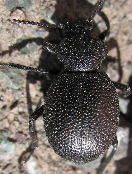 Darkling Beetle - Eleodes cordata