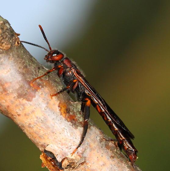 Siricid - Tremex columba - male