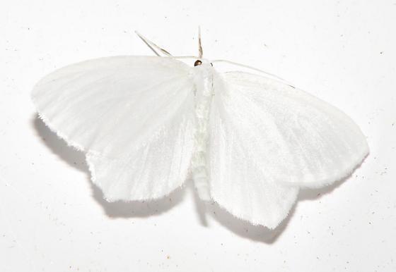 Which Moth?  - Eugonobapta nivosaria