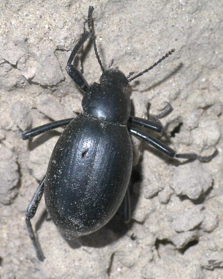 Black darkling beetle? - Eleodes