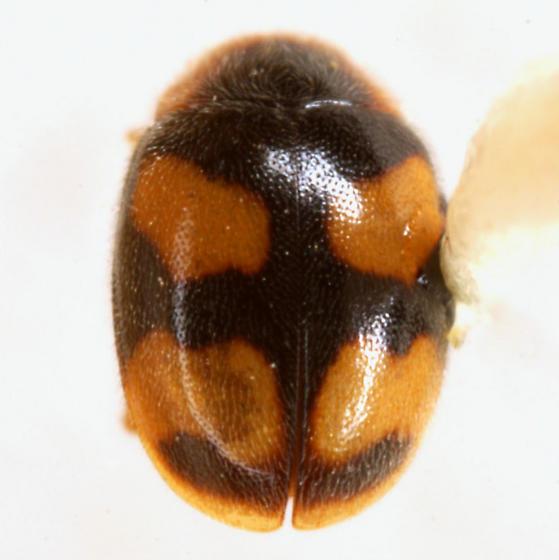 Diomus amabilis (LeConte) - Diomus amabilis