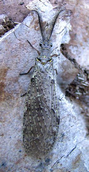 Corydalid - Chauliodes rastricornis - male