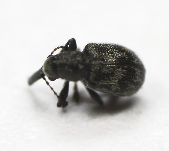 2mm weevil from - Auletobius cassandrae