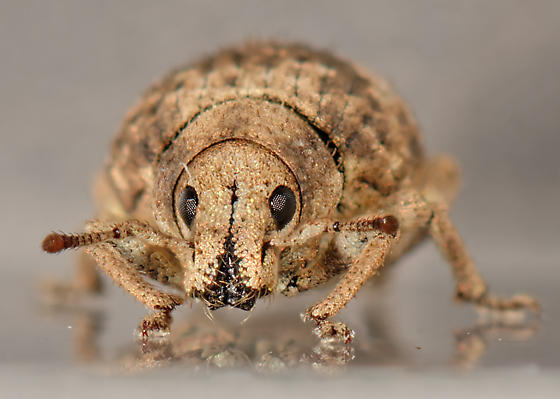 small weevil - Pseudocneorhinus bifasciatus