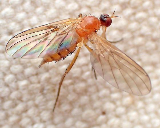 Empidoid (?) with orange thorax and bristles on side of abdomen - Rhamphomyia - female