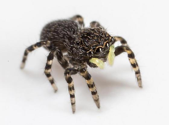 Tiny Jumping Spider - Talavera minuta - female