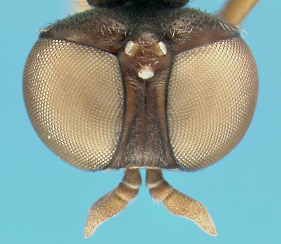 Diptera - Pseudatrichia - female