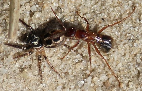 Wasp vs Spider - Dipogon graenicheri - female