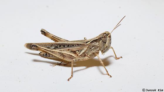 ID Request - Orphulella pelidna - female