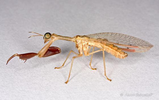Arizona mantispid - Dicromantispa sayi