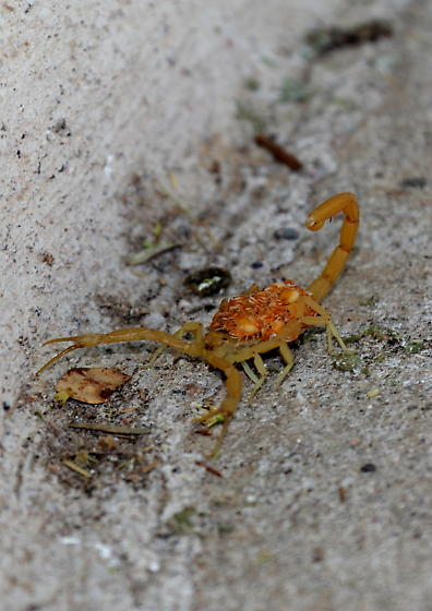 Scorpion carrying babies on its back. - Centruroides sculpturatus - female