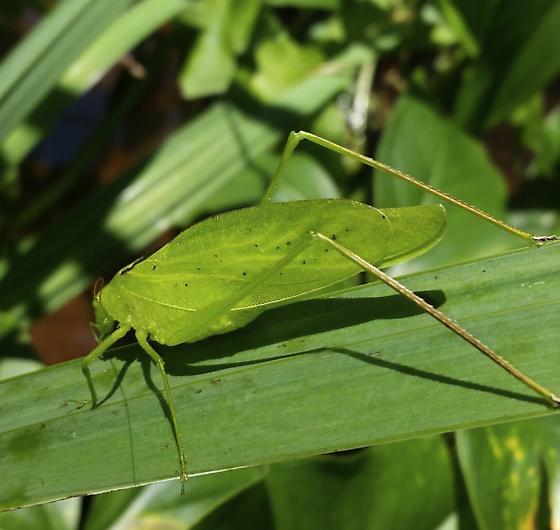 Oblong winged katydid - Amblycorypha oblongifolia - male