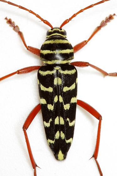 Placosternus erythropus (Chevrolat) - Placosternus erythropus