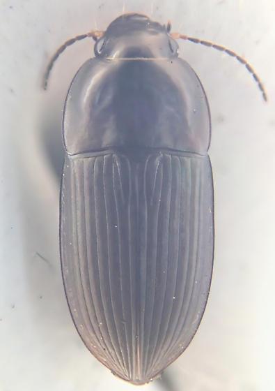 Beetle - Anisodactylus rusticus - male