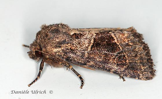Noctuidae ? - Oligia obtusa