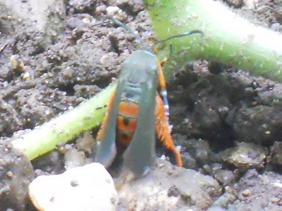 Red Mystery Insect - Bee? Fly? Moth? - Melittia cucurbitae