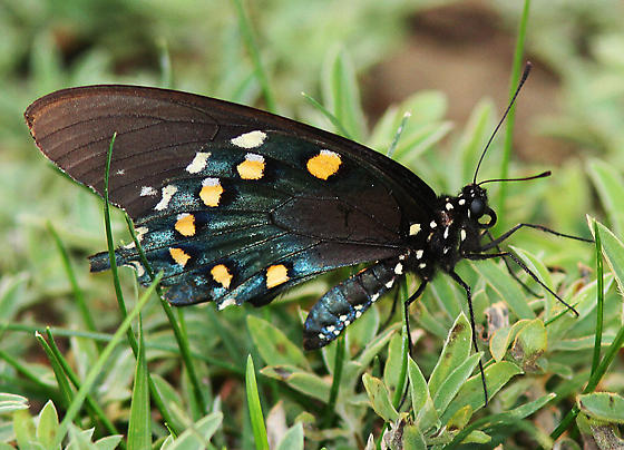 Pipevine Swallowtail_Battus philenor - Battus philenor