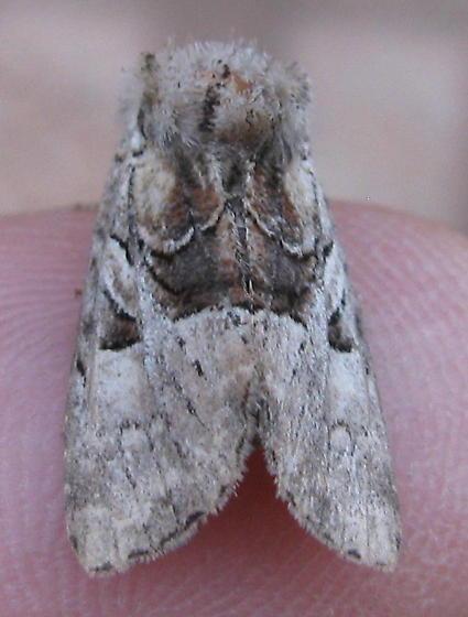 Very worn moth - Meropleon diversicolor