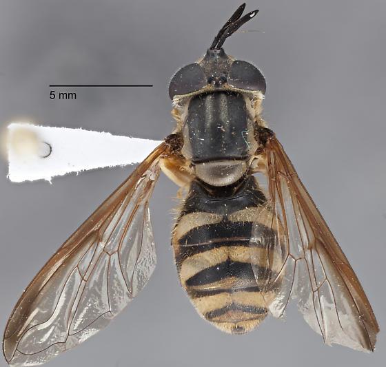 Syrphidae - Chrysotoxum