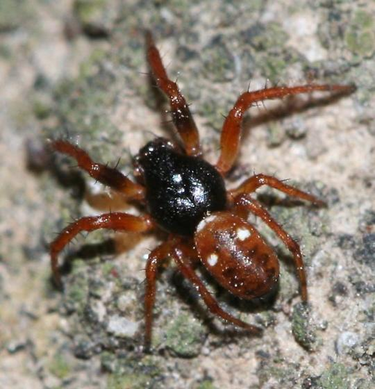 Spider (unknown family) - Cyclosa turbinata - male