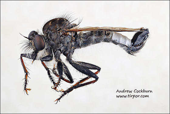 Cape Cod robber fly - Efferia aestuans - male