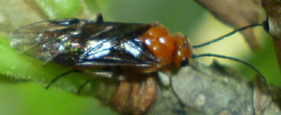 sawfly - Hemichroa crocea