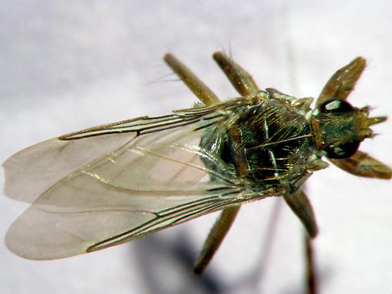 pseudolynchia canariensis - Pseudolynchia canariensis