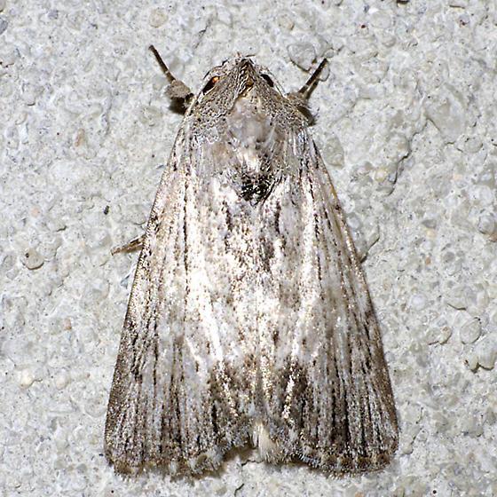 Catabenoides terminellus - Catabenoides