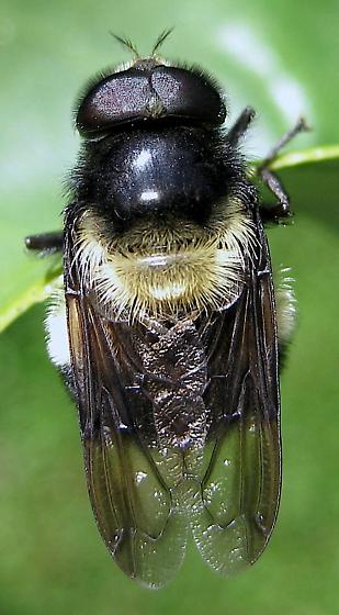 Imitating Mr. Bumble - Volucella bombylans-complex - male
