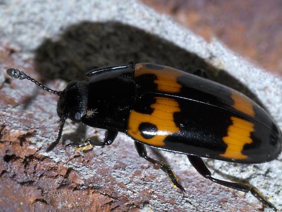 Orange and black beetle - Megalodacne fasciata