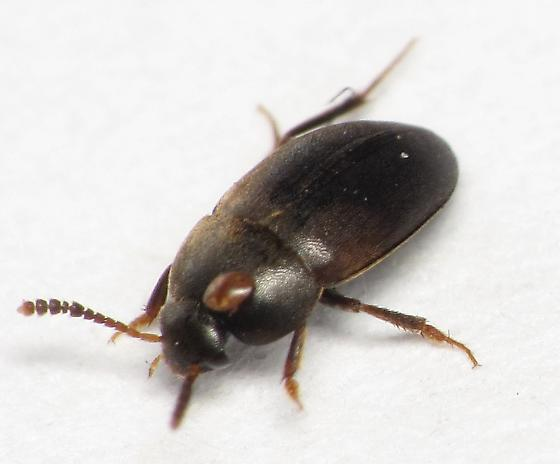 small carrion beetle - Catops