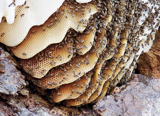 Beehive - Apis mellifera