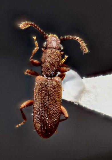 Silvanidae  - Silvanus bidentatus