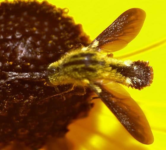 Bee Mimic Robber Fly? - Lepidophora lutea