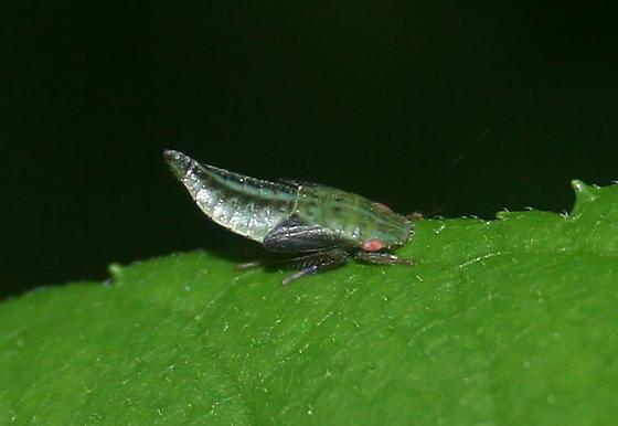 Leafhopper nymph - Ponana pectoralis