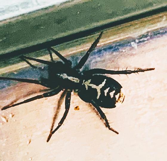 Spider found in sink . Not my image/sighting, but sharing  here.  - Castianeira